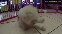 Bichon Frise, Puppies For Sale, In Atlanta, Georgia, GA