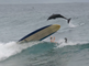 SURFING WITH DOLPHINS AT BYRON BAY