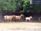 ANIMAUX SEXE AMOUR - PETS LOVE SEX #4 (Cheval Przewalski Horse)