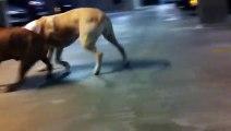 Dangerous pitbull terrier attack staffordshire bull terrier
