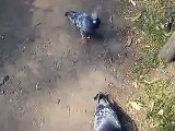 feeding to the pigeons (video movie animal pet bird dog cat zoo impact)