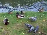 feeding to the pigeons and ducks in the park (video  animal pet bird dog cat zoo impact)