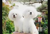 Bichon Frise Japan!!  They are the Bichon Frise of my home.
