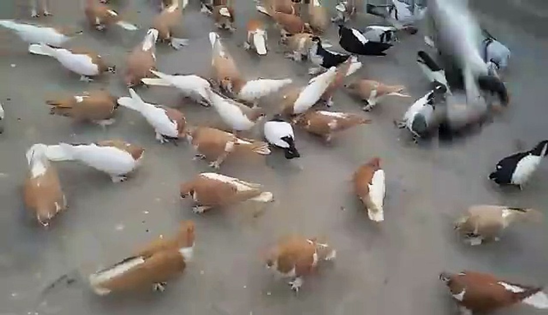 Shirazi Pigeons