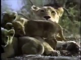 Crater Lions of Ngorongoro African Animals Wildlife Documentary