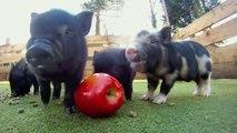 Des bébés cochons kiffent leur grosse pomme et c'est trop chou!