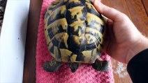 Réveiller une tortue après 4 mois d'hibernation au frigo
