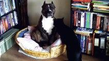American Sttafordshire Terrier    Pit Bull -  cat killer  - AMSTAFF PITBULL - pies morderca