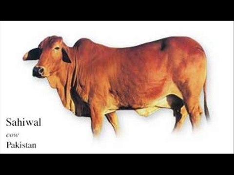 Sahiwal breed khasusiyat by Dr Ashraf Sahibzada