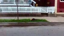 Un raton laveur affamé se coince la tête dans une canette