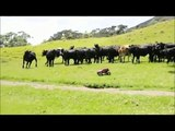 Les vaches sont elles un race d'animaux joueuses?