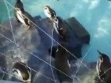 フェアリーペンギン(動物園、ペット、動画、生物、犬、�