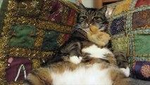 Poussin bébé siestes sur le ventre de chat / Baby chick naps on cat's belly