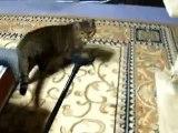 マジックハンドで猫を追う (cute cat ねこ、ネコ、ペット、動画、動物、 pet)