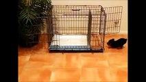 How To Potty Train A Bichon Frise Puppy - Bichon Frise House Training Tips - Bichon Frise Puppies