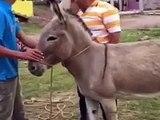 Il tente de monter sur le dos d'un âne… et patatras