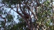 Des drones pour compter les koalas d'Australie