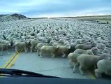 intelligent amazing herd of sheeps - how they allow car to pass