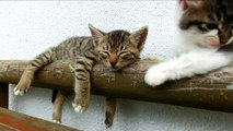 Cute cats- Black and white kitten tries to wake up tabby