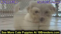 Bichon Frise, Puppies, For, Sale, In, Baltimore, Maryland, MD, Fort Washington, South Laurel, Reiste