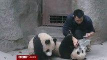 Adorables pandas
