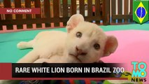 White lion cub: Brazil zoo shows off two-month old white lion cub