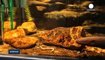 L'anguille électrique, ce taser d'eau douce
