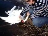 2 cygnes blancs attachés l'un à l'autre viennent demander de l'aide!