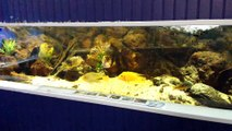 Aquarium 1200 litres-Cichlidés d'Amérique Central-BAAC 2015 (2)