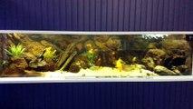 Aquarium 1200 litres-Cichlidés d'Amérique Central-BAAC 2015 (3)
