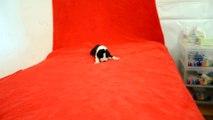 Chiot Dogue Allemand à 9 jours de l'élevage des Joyaux d'Allythélia