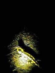 Rencontre nocturne avec une salamandre