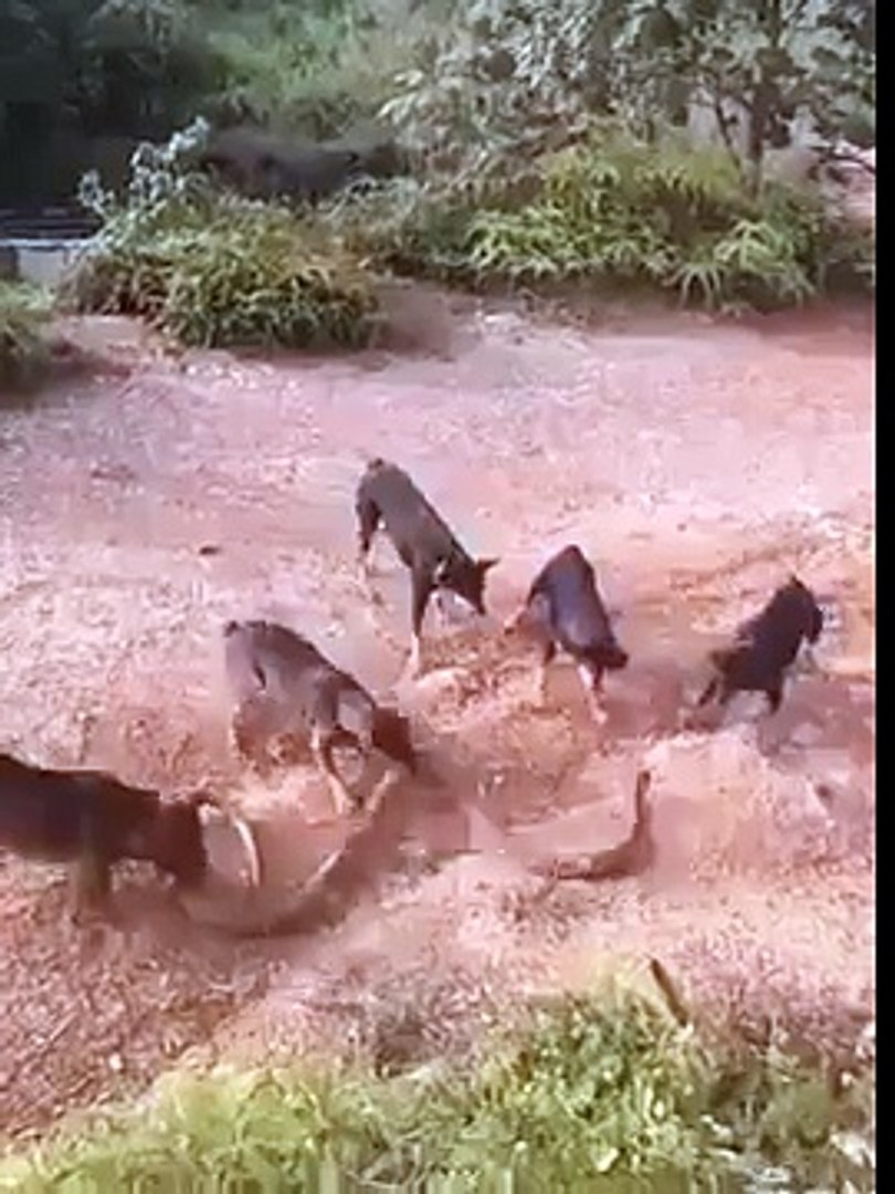 Dogs vs King Cobra Watch: Huge king cobra attacked by a pack of dogs in Nepal