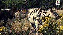 L'ile aux belles vaches à cornes - TVBI Belle-Ile Télévision
