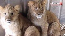 Le mystère des lionceaux abandonnés au parc de Nesles