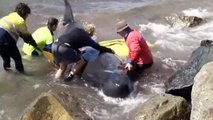 Rescuers lose fight to save beached whales in Australia