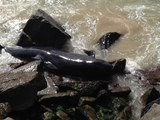 Douze baleines s'échouent en Australie malgré les tentatives de sauvetage