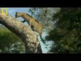 Leopardess (female leopard) vs LION PRIDE! Full Video!! Lions fall asleep and go durrrrrr...