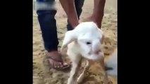 Un mouton avec une tête humaine au Dagestan