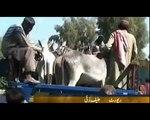 Punjabi tootay about donkey mandi must watch n share