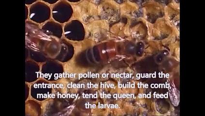 Video 2: Social Organization of a honey bee colony