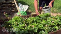 Comment planter et entretenir vos fraisiers ?