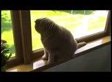 Baby Scottish Fold cat cute munchkin kitten! Fat cats, pampered celebrity pets