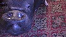 Conheça a porquinha que vive num pub em Londres!