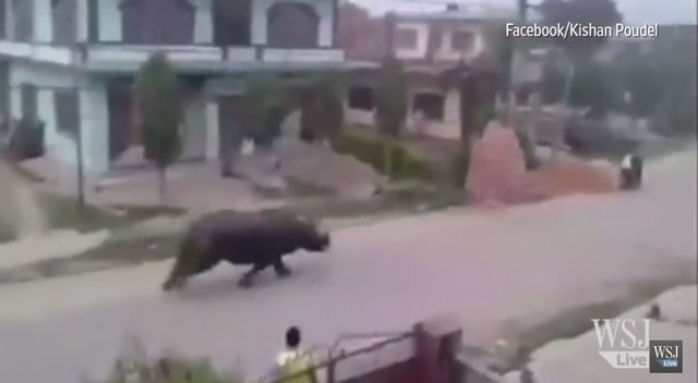 Giant Rhino Chases Motorcycles