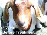 How to Cure Bottle Jaw (worms & anemia) in Goats
