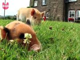 Micro Pigs are Bigger Than You Think