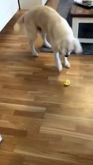 Golden retriever tasting lemon