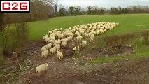 Un drone de berger pour gérer les moutons !