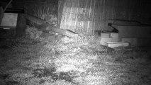 1 - Le printemps, les hérissons circulent dans le jardin ...